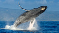 Hawaiian Humpbacks 2014